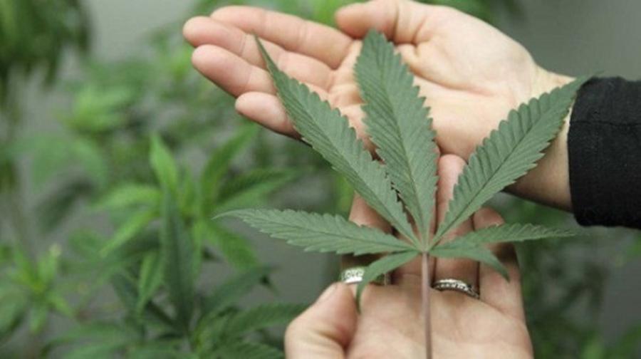 Justiça concede habeas corpus a casal que cultiva maconha para fins medicinais