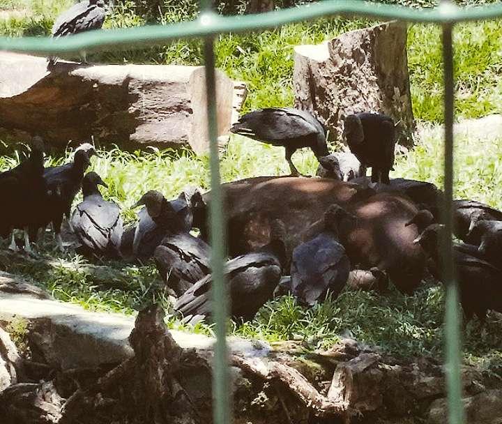 Anta agoniza e é rodeada por urubus em zoológico de Goiânia