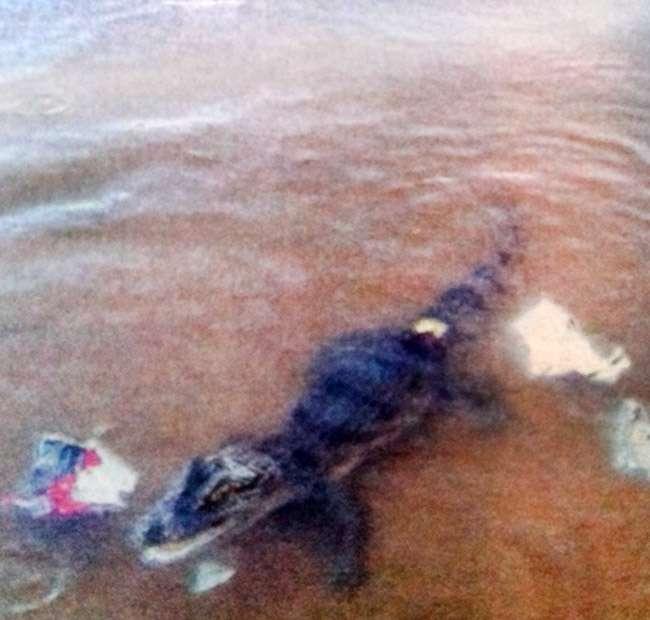 Jacaré do Parque Vaca Brava é resgatado pelo Corpo de Bombeiros