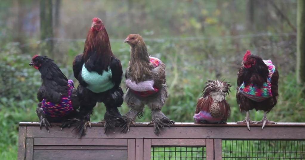 Inglesa faz coletes de lã para aves se protegerem do frio