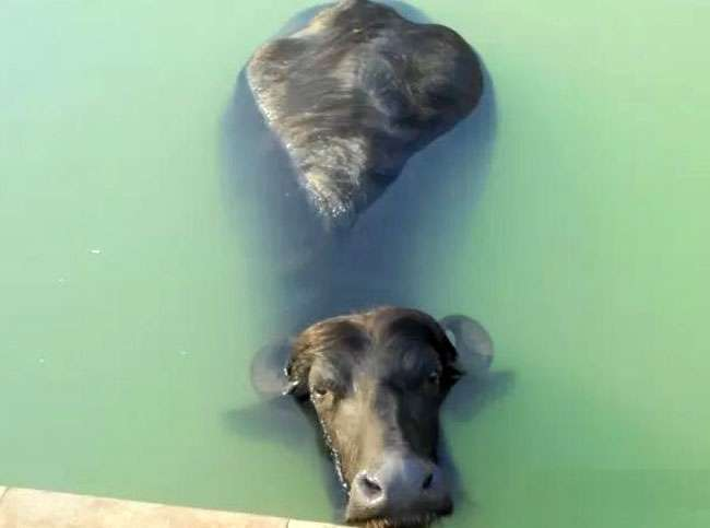 Para fugir do calor, búfalo invade sítio e entra em piscina