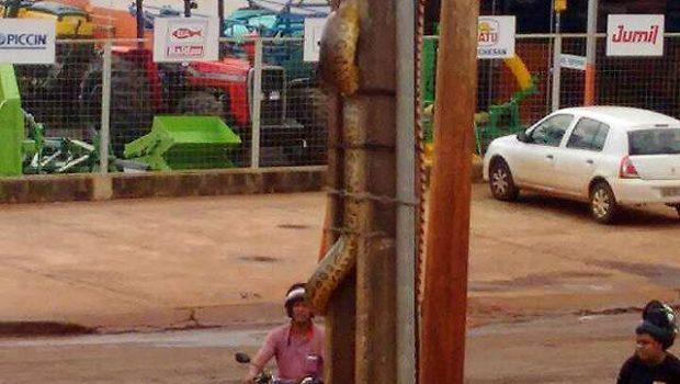 Cobra sai de brejo e sobe em poste da rede elétrica em Itumbiara