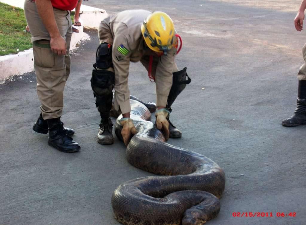 Cobra sucuri de 7 metros é resgatada próximo a residência, em Luziânia