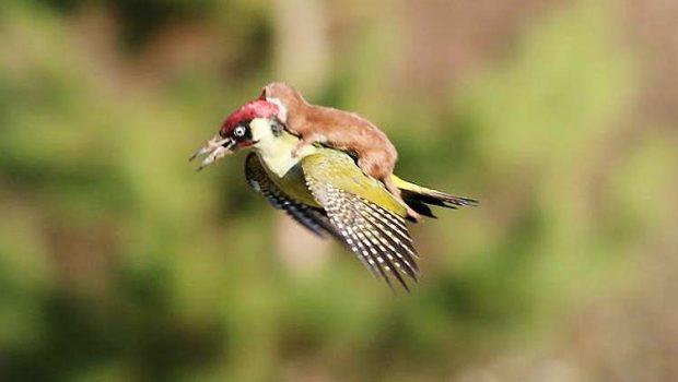 Fotógrafo flagra furão voando de carona em pica-pau