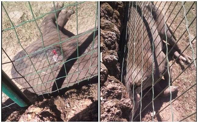 Prefeitura esclarece sobre saúde de anta fotografada com ferimento no zoológico