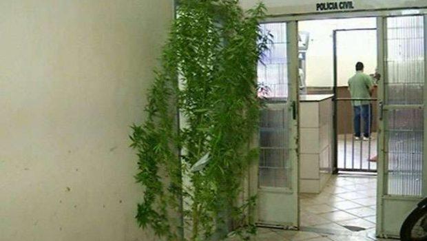 Polícia apreende pé de maconha com quase três metros de altura em Anápolis