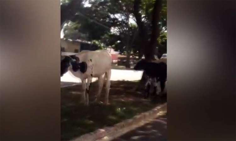 """Internauta flagra vacas """"passeando"""" em rua próximo ao aerporto de Goiânia"""