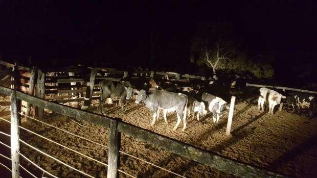 Dois homens são presos durante tentativa de furto de gado em Firminópolis