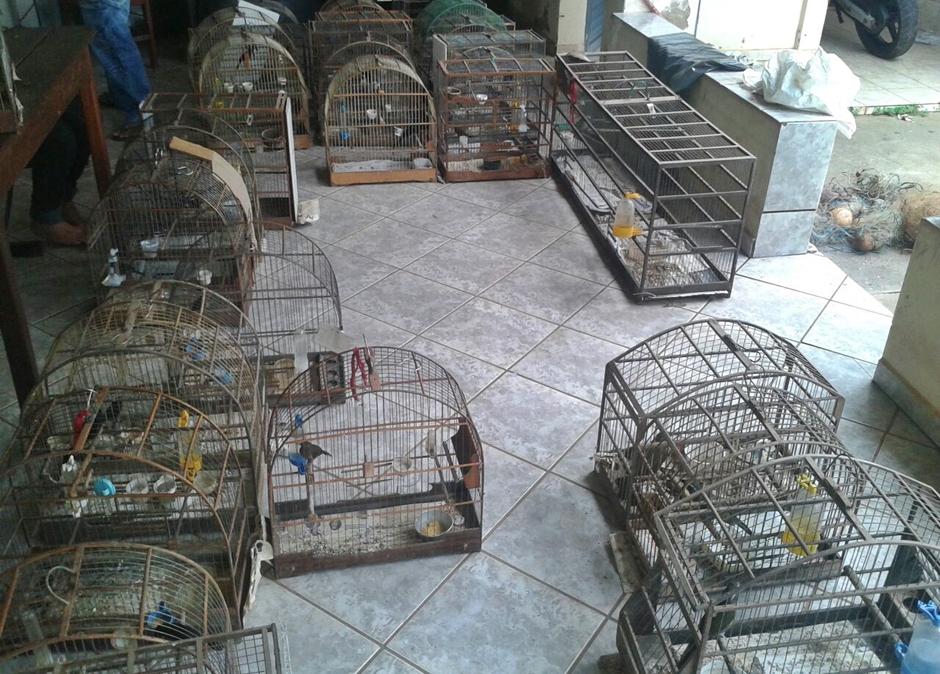 PM fecha rinha de galos e criadouro ilegal de pássaros em Uruana