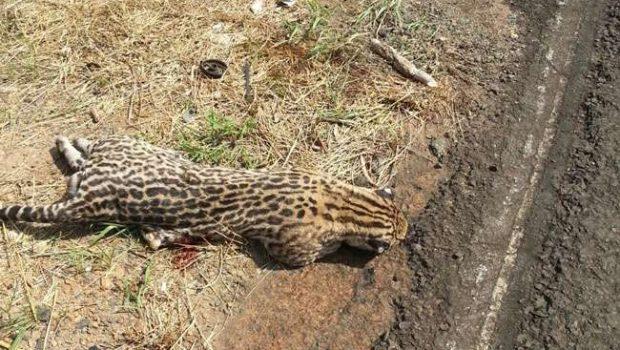 Onça morre atropelada na GO-217, próximo a Piracanjuba