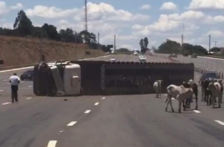 Carreta carregada de bezerros tomba na BR-060 e animais ficam soltos na pista; veja vídeo