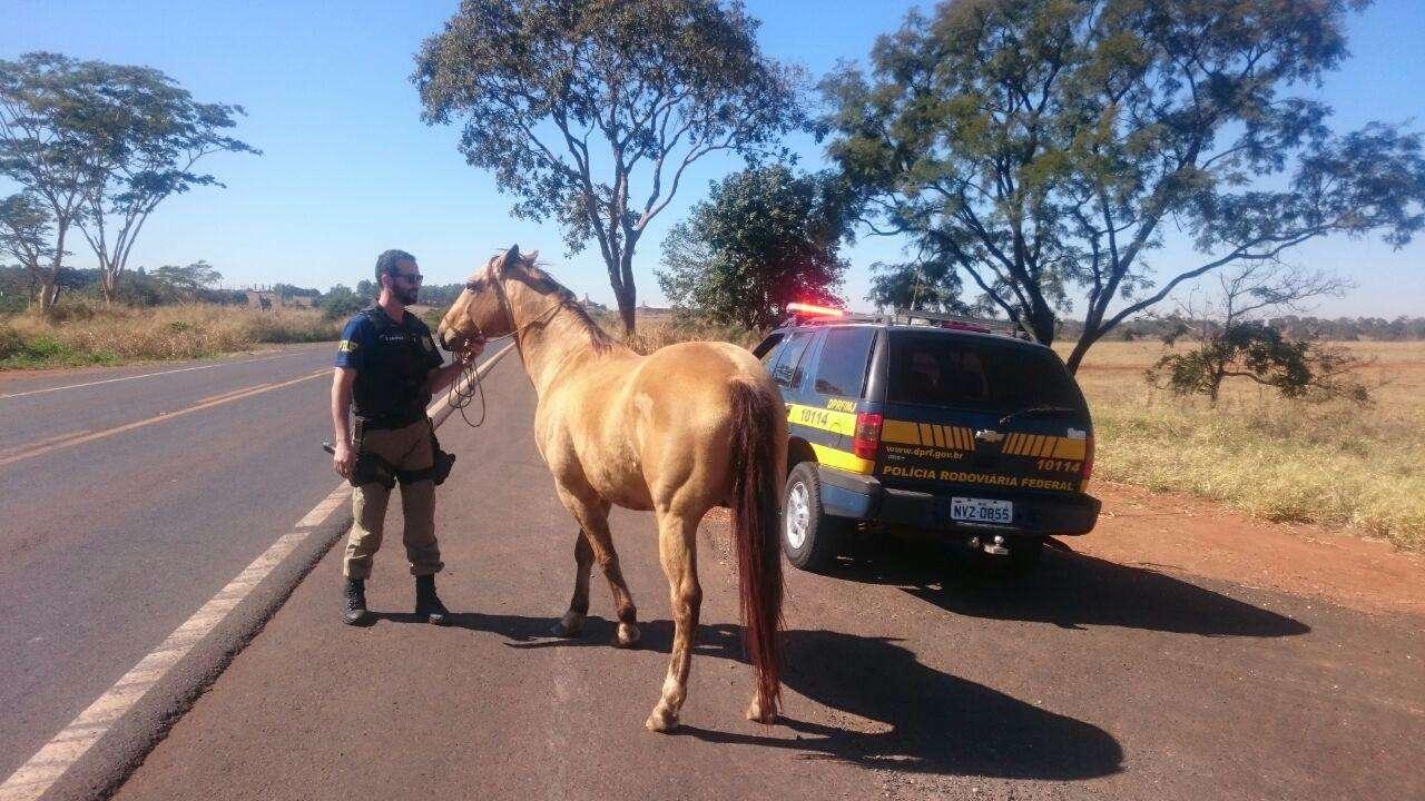 Agentes da PRF domam cavalo e retiram animal de situação de risco, próximo a Paranaiguara