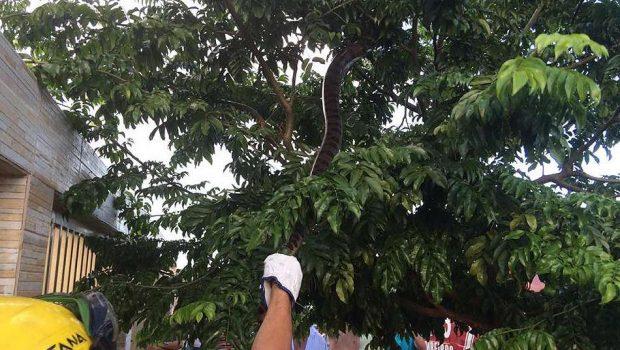 Sucuri de 2,5 metros é resgatada em copa de árvore em Quirinópolis