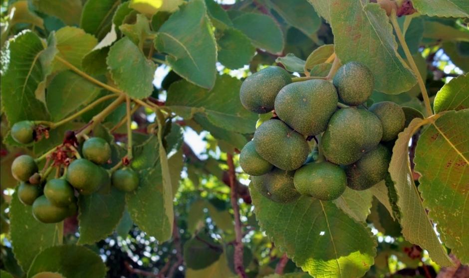 Lei que torna o pequizeiro árvore símbolo do Cerrado em Goiás é sancionada