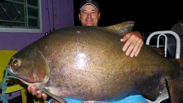 Pescador fisga tambaqui com mais de 38 kg no Rio Teles Pires