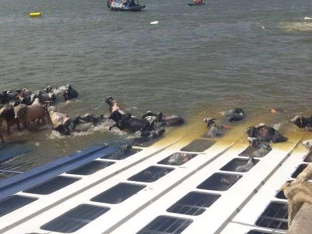 Gado morto em navio começa a ser retirado de praia do Pará