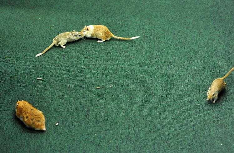 Homem é preso após soltar ratos durante sessão da CPI da Petrobras