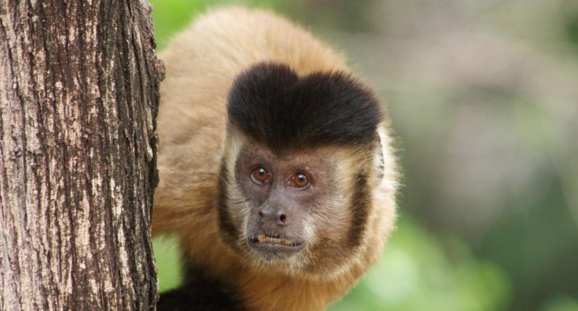 Prefeitura de Goiânia monitora mortes de macacos para detectar febre amarela