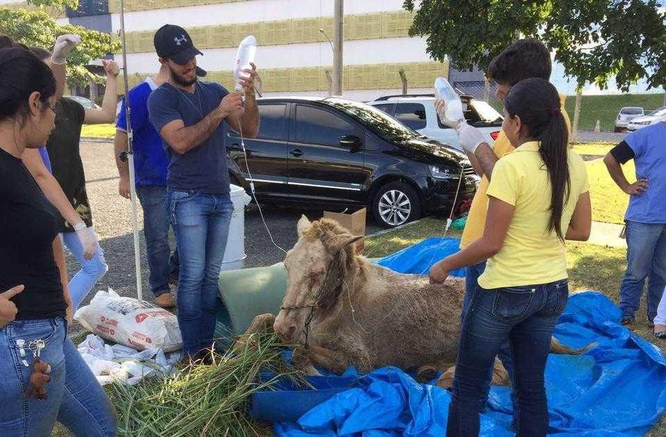 Morre cavalo resgatado por estudantes de Veterinária de situação de maus tratos