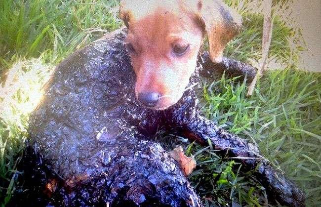 Cachorro é encontrado com corpo coberto por piche em Trindade