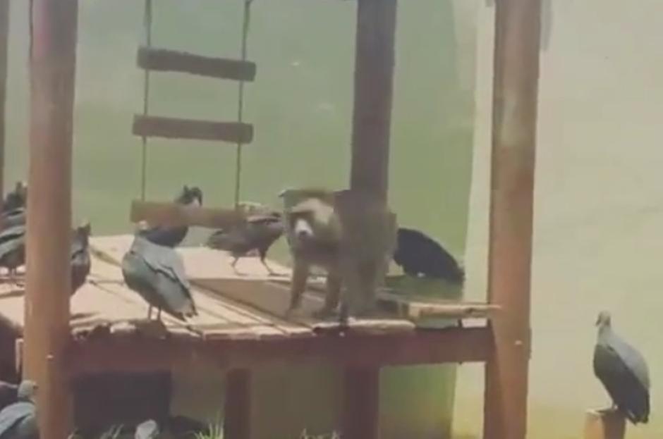 Urubus no zoológico é problema antigo, diz supervisor