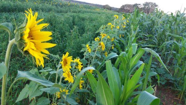 Técnicos da Embrapa vêm a Goiás monitorar modelo de plantio agroecológico de pequenos produtores