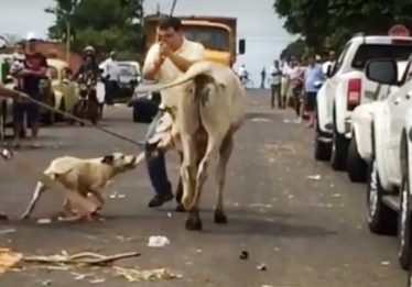 Pit bull é sacrificado após atacar bezerro em Catalão