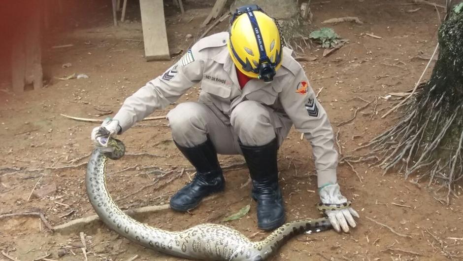 Corpo de Bombeiros captura sucuri de dois metros em Morrinhos