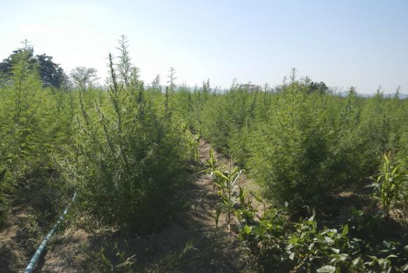 Argentina aprova uso medicinal da maconha