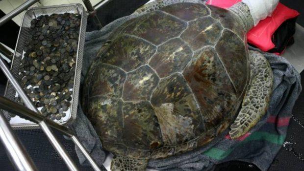 Tartaruga ingere 915 moedas e morre de intoxicação