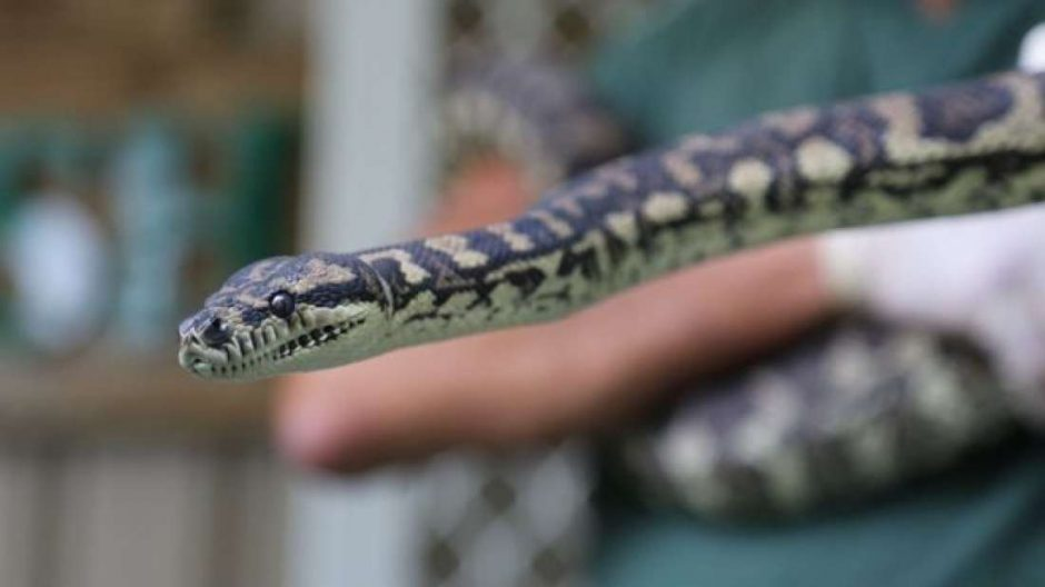 Cobra viciada em drogas é reabilitada em prisão australiana