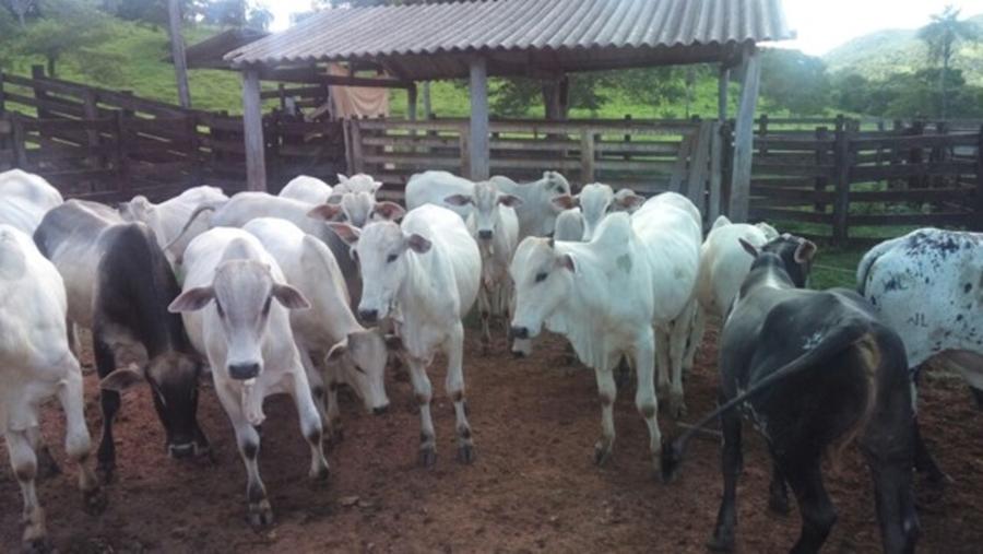 Policiais recuperam gado furtado em Faina