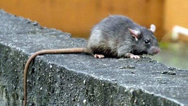 Prefeitura segue com combate aos ratos na Praça do Trabalhador