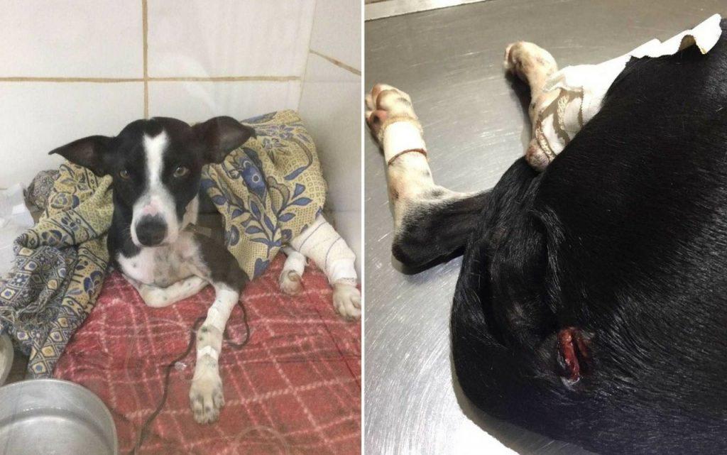 Em Anápolis, cadela é baleada ao tentar defender o dono