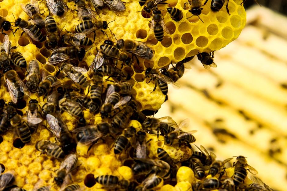 Instituto Vital Brazil desenvolve remédio inédito contra veneno de abelha