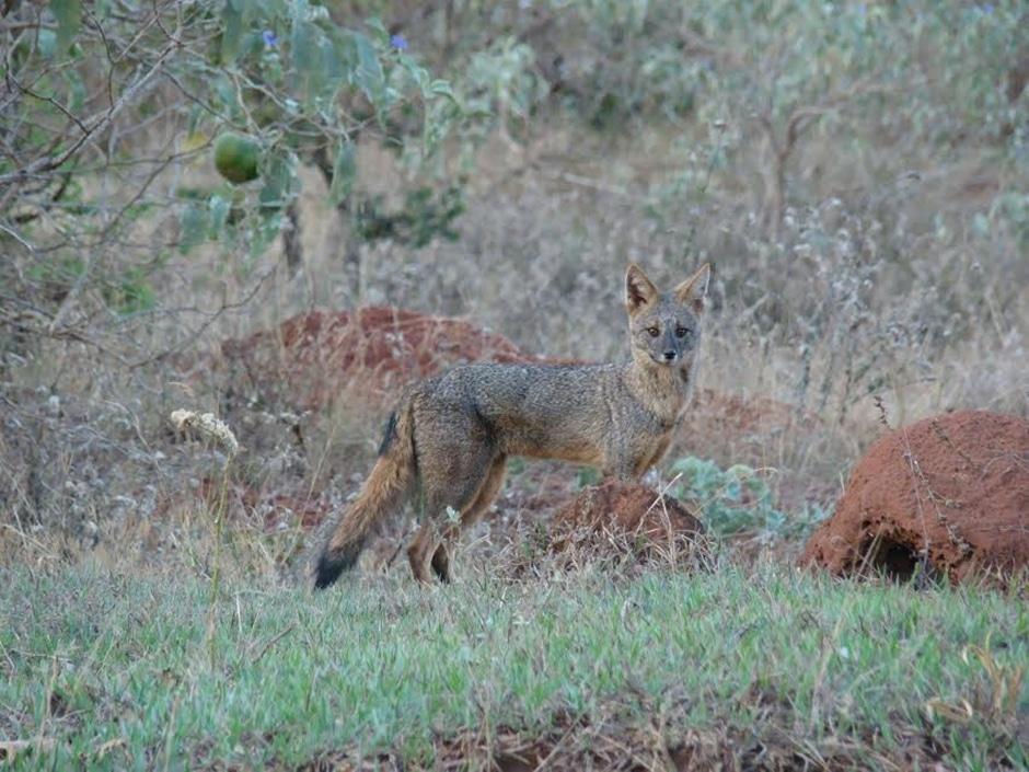 UFG alerta sobre risco de extinção da raposa-do-campo