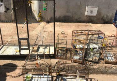 30 pássaros silvestres são apreendidos em Goiânia