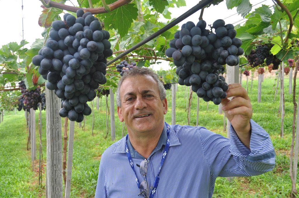 Mercado de uva se abre para novas oportunidades de negócios em Goiás