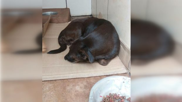 Cadela resgatada de maus tratos está à espera de adoção na delegacia de Rio Verde