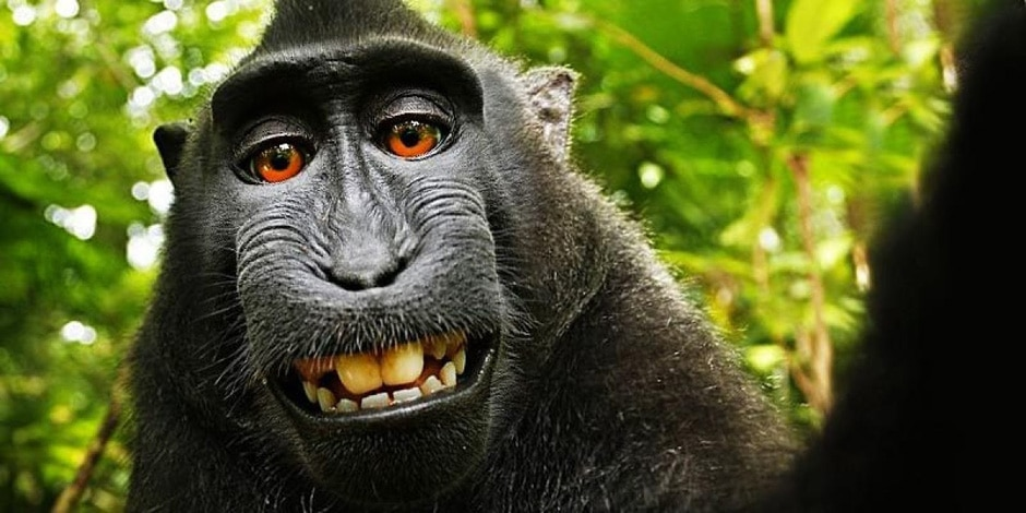Tribunal decide que macaco não tem direitos de imagem
