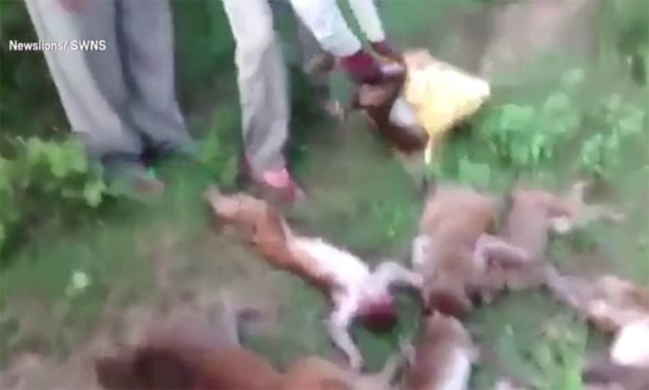 12 macacos morrem de ataque cardíaco após ouvirem rugido de Tigre, na Índia