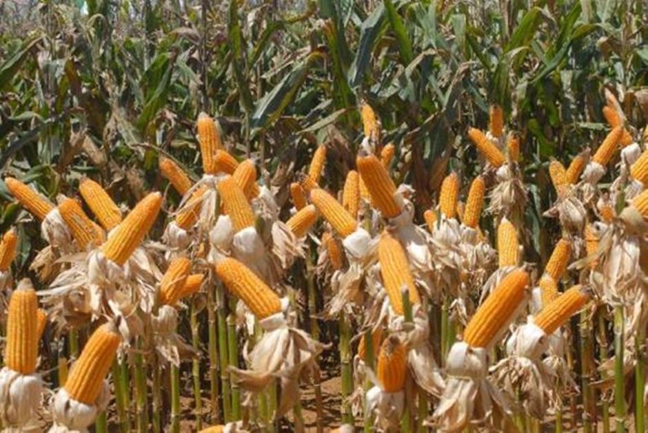 Safra do milho tem queda em Goiás; outras culturas crescem
