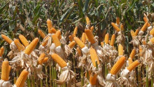 Safrinha do milho registra queda de 7,8%, aponta IBGE