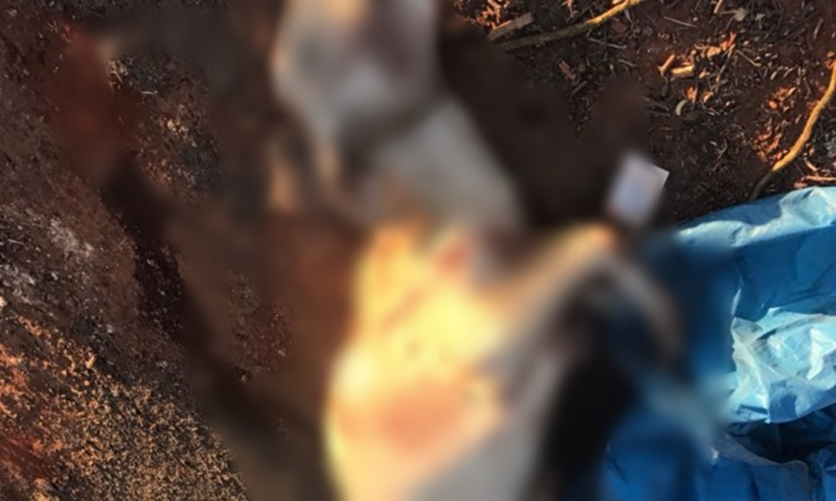 Novilha é encontrada em carro roubado que se acidentou em Anápolis