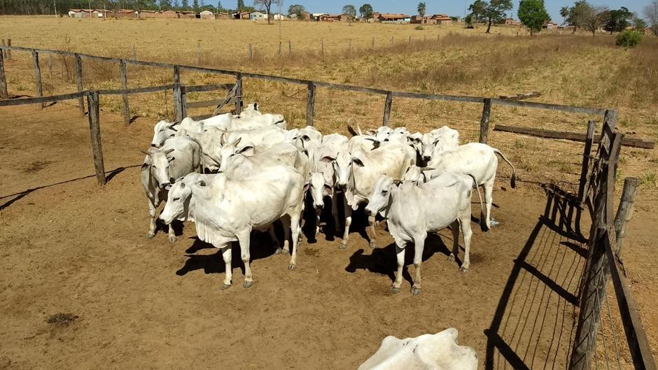 Grupo especializado em roubos de gado é preso em Goiás