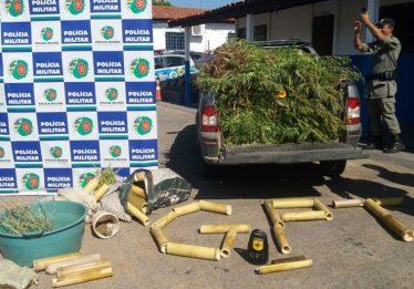 Policia Militar localiza fazenda com plantação de 500 pés de maconha em Posse