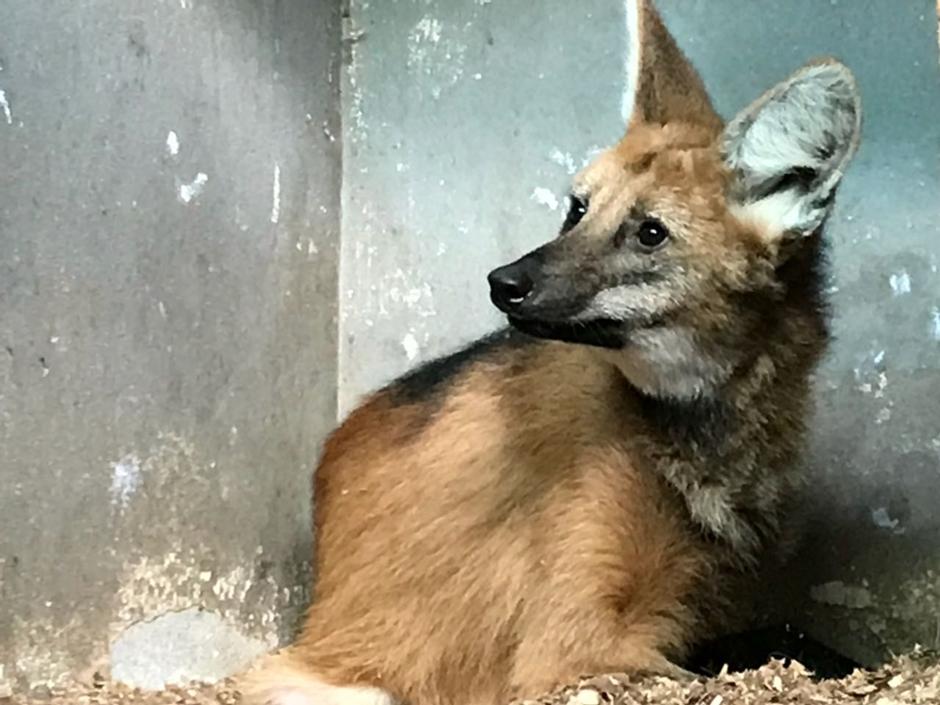 Lobo-guará resgatado na BR-153 se recupera no Cetas