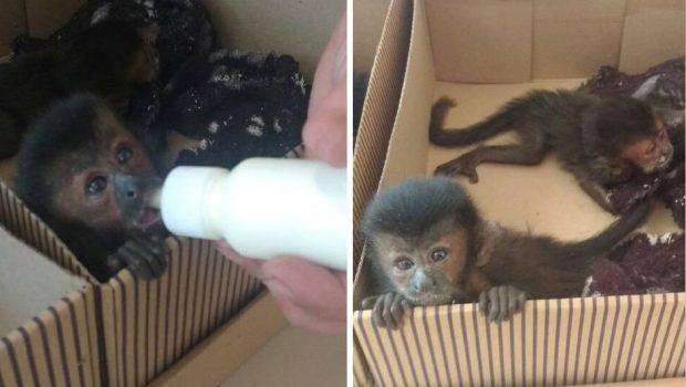 Casal é multado em R$ 82 mil após ser flagrado com filhotes de macacos-prego