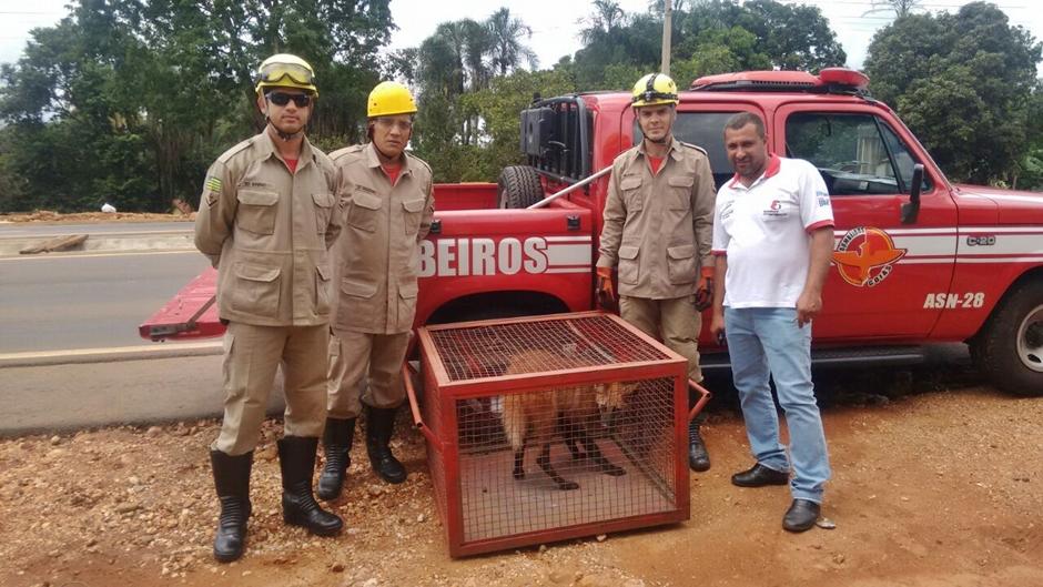 Bombeiros capturam lobo-guará dentro de mercearia em Itaberaí