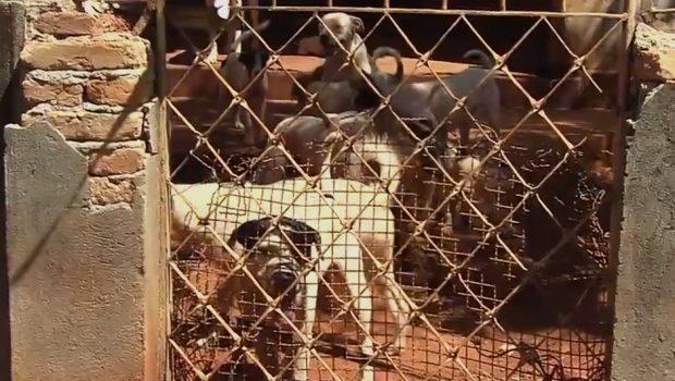 Cerca de 20 pit bulls são encontrados em situação precária em casa de Goiânia